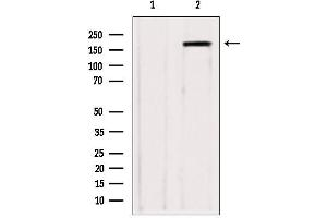 Image no. 1 for anti-Zinc Finger, CCHC Domain Containing 11 (ZCCHC11) antibody (ABIN6266092)