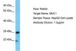 Image no. 1 for anti-Mucin 1, Cell Surface Associated (MUC1) (C-Term) antibody (ABIN2776819)