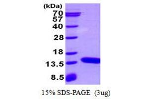 Image no. 1 for S100 Calcium Binding Protein A3 (S100A3) protein (His tag) (ABIN1098352)