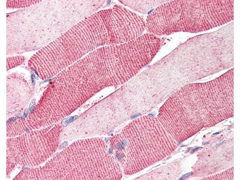 Immunohistochemistry (IHC) image for anti-Arylsulfatase B (ARSB) (AA 359-372) antibody (ABIN337028)