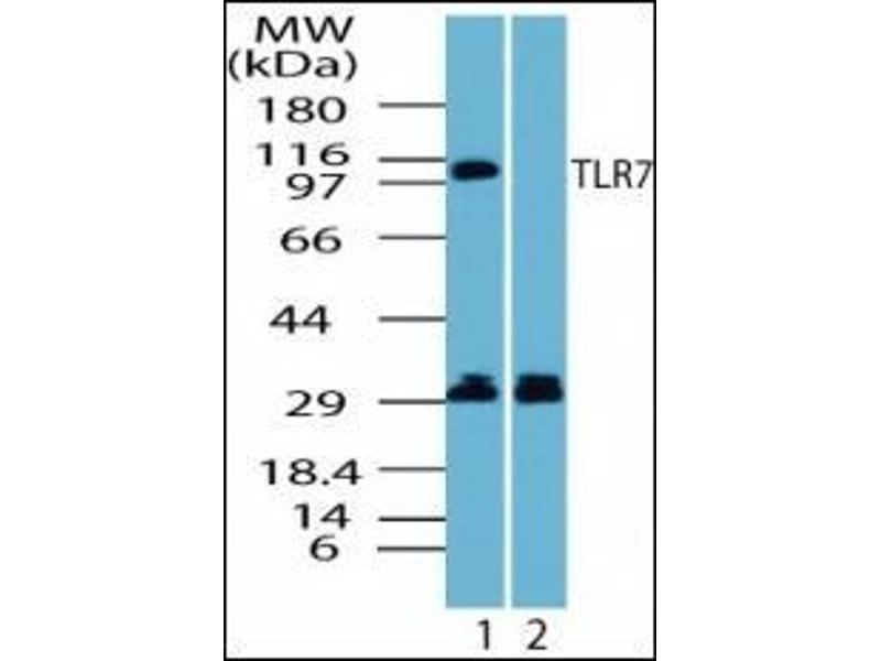Western Blotting (WB) image for anti-Toll-Like Receptor 7 (TLR7) (AA 900-950) antibody (ABIN615823)
