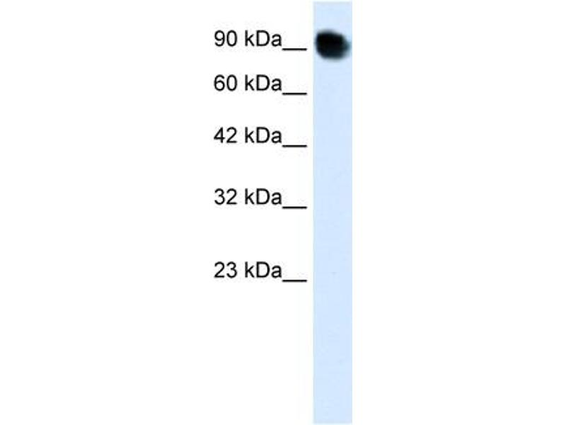 Western Blotting (WB) image for anti-Mediator Complex Subunit 16 (MED16) (C-Term) antibody (ABIN2779553)