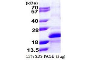 Image no. 1 for Myosin Light Chain, phosphorylatable, Fast Skeletal Muscle (MYLPF) (AA 1-169) protein (His tag) (ABIN667922)