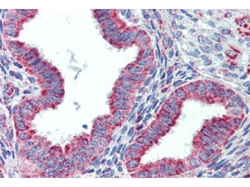 Immunohistochemistry (Paraffin-embedded Sections) (IHC (p)) image for anti-Heat Shock 60kDa Protein 1 (Chaperonin) (HSPD1) antibody (ABIN462365)