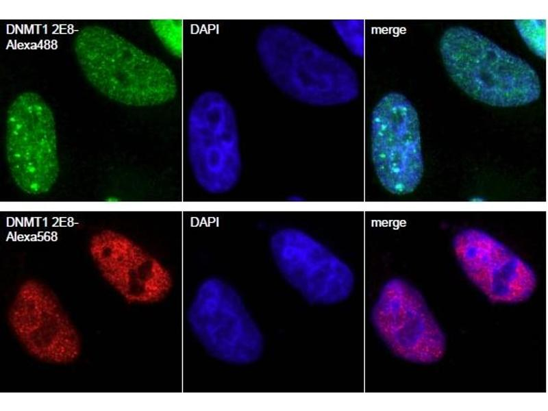 Immunofluorescence (IF) image for Dnmt1-Trap A (ABIN1082205)