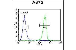 Image no. 2 for anti-Homeobox A9 (HOXA9) (AA 245-272), (C-Term) antibody (ABIN5531408)