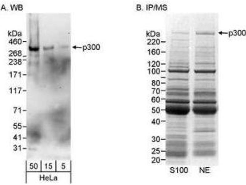 Western Blotting (WB) image for anti-E1A Binding Protein P300 (EP300) antibody (ABIN152980)