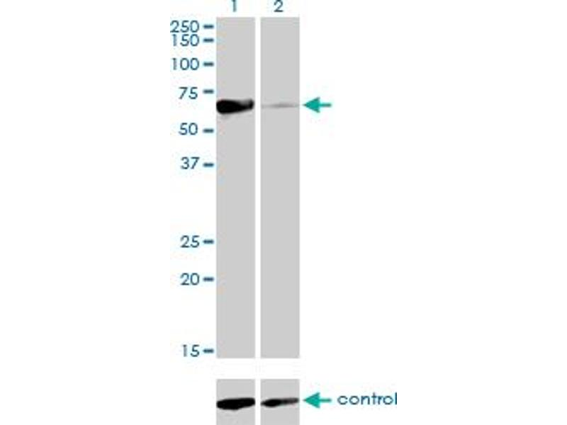 Western Blotting (WB) image for anti-Nuclear Receptor Subfamily 1, Group D, Member 2 (NR1D2) (AA 1-579) antibody (ABIN564291)