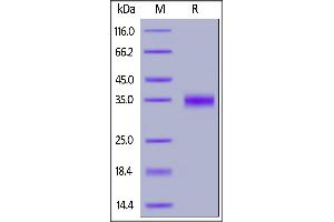 Image no. 2 for SARS-CoV-2 Spike S1 (RBD) protein (AVI tag,Biotin,His tag) (ABIN6952456)