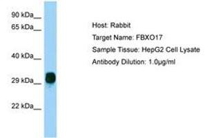 Image no. 1 for anti-F-Box Protein 17 (FBXO17) (AA 36-85) antibody (ABIN6750200)