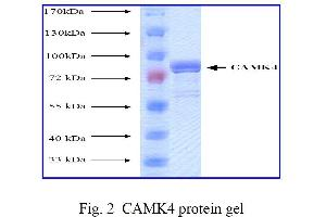 SDS-PAGE (SDS) image for Calcium/calmodulin-Dependent Protein Kinase IV (CAMK4) (Active) protein (ABIN411947)