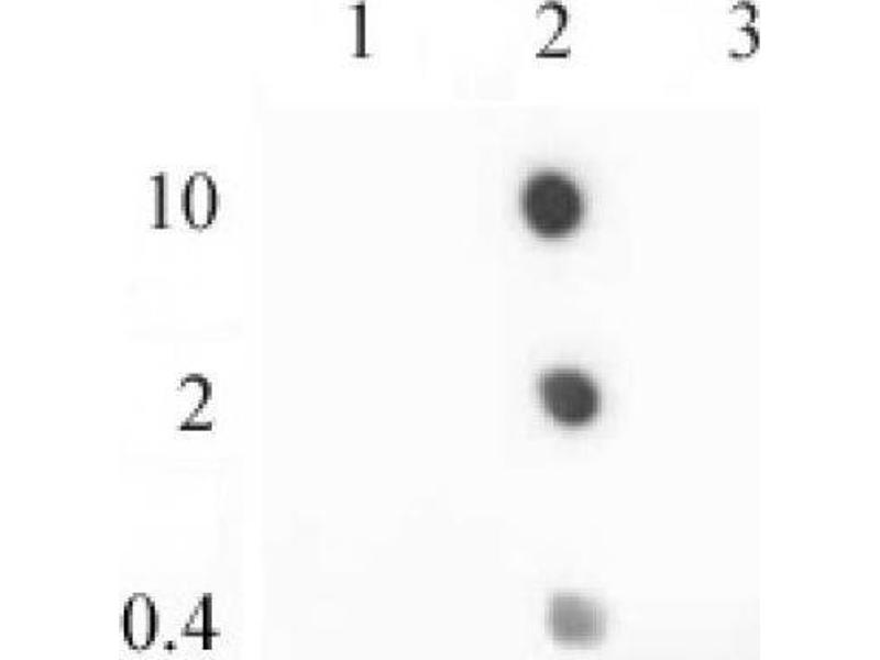 Dot Blot (DB) image for anti-H2A Histone Family, Member Z (H2AFZ) (C-Term) antibody (ABIN4889649)