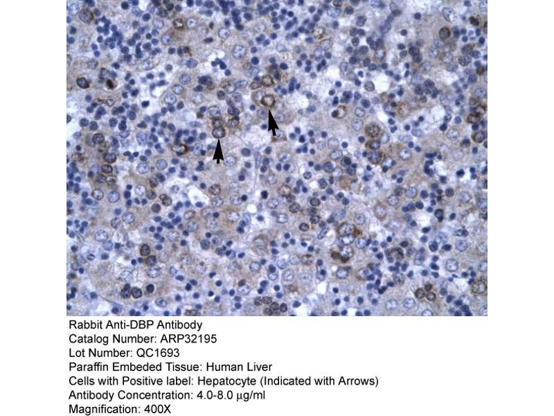 Immunohistochemistry (IHC) image for anti-D Site of Albumin Promoter (Albumin D-Box) Binding Protein (DBP) (N-Term) antibody (ABIN182506)