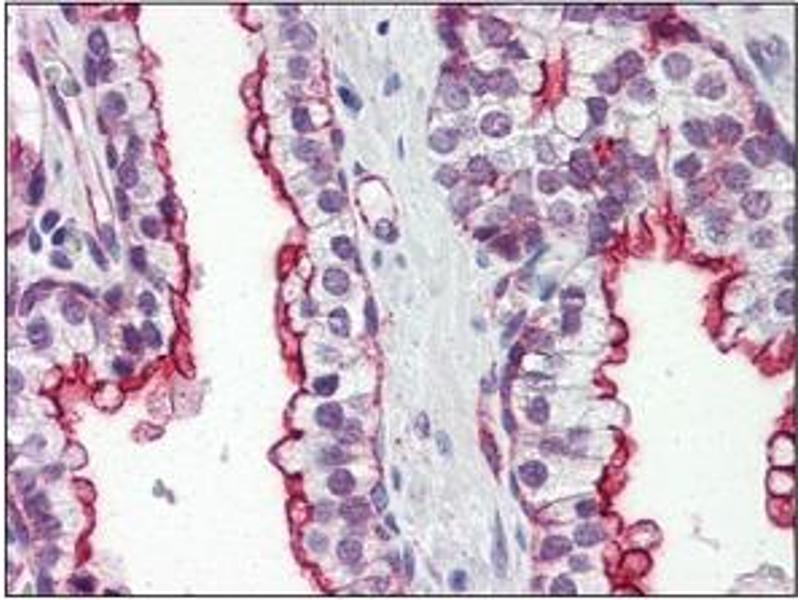 Immunohistochemistry (IHC) image for anti-Clusterin (CLU) (AA 1-333), (N-Term) antibody (ABIN317504)