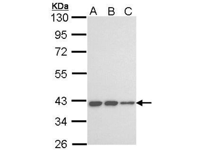 Western Blotting (WB) image for anti-Killer Cell Immunoglobulin Receptor, Three Domains, Long Cytoplasmic Tail, 2 (LOC727787) (AA 271-333) antibody (ABIN556402)