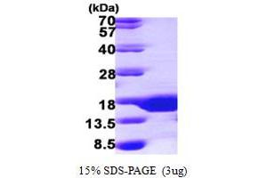 Image no. 1 for SMT3 Suppressor of Mif Two 3 Homolog 3 (S. Cerevisiae) (SUMO3) (AA 1-92) protein (His tag) (ABIN667240)
