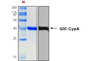 Image no. 1 for Peptidylprolyl Isomerase A (Cyclophilin A) (PPIA) (AA 1-165) protein (ABIN2703731)