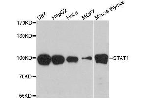 Western Blotting (WB) image for anti-Signal Transducer and Activator of Transcription 1, 91kDa (STAT1) antibody (ABIN6148563)