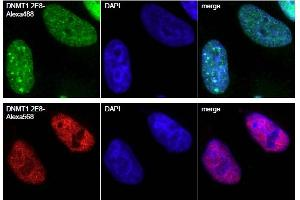 Immunofluorescence (IF) image for Dnmt1-Trap A (ABIN1082209)