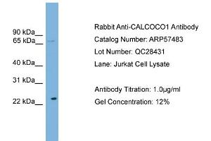 Image no. 2 for anti-Calcium Binding and Coiled-Coil Domain 1 (CALCOCO1) (N-Term) antibody (ABIN2787240)