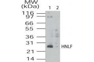 Image no. 1 for anti-Transmembrane Emp24 Protein Transport Domain Containing 4 (TMED4) (AA 55-67) antibody (ABIN208712)