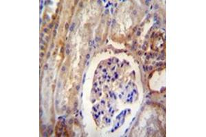 Immunohistochemistry (Paraffin-embedded Sections) (IHC (p)) image for anti-Dynein, Light Chain, Roadblock Type 2 (DYNLRB2) (AA 56-85), (Middle Region) antibody (ABIN952007)