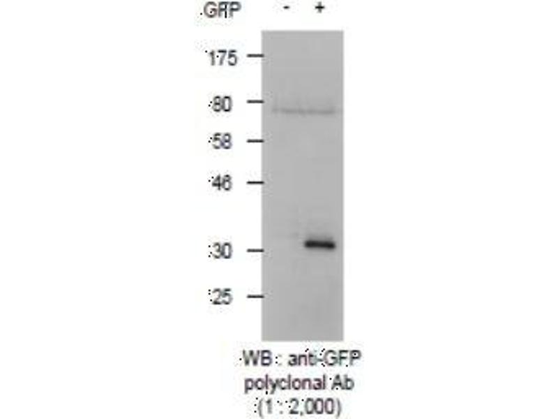 Western Blotting (WB) image for anti-Green Fluorescent Protein (GFP) antibody (ABIN2451989)
