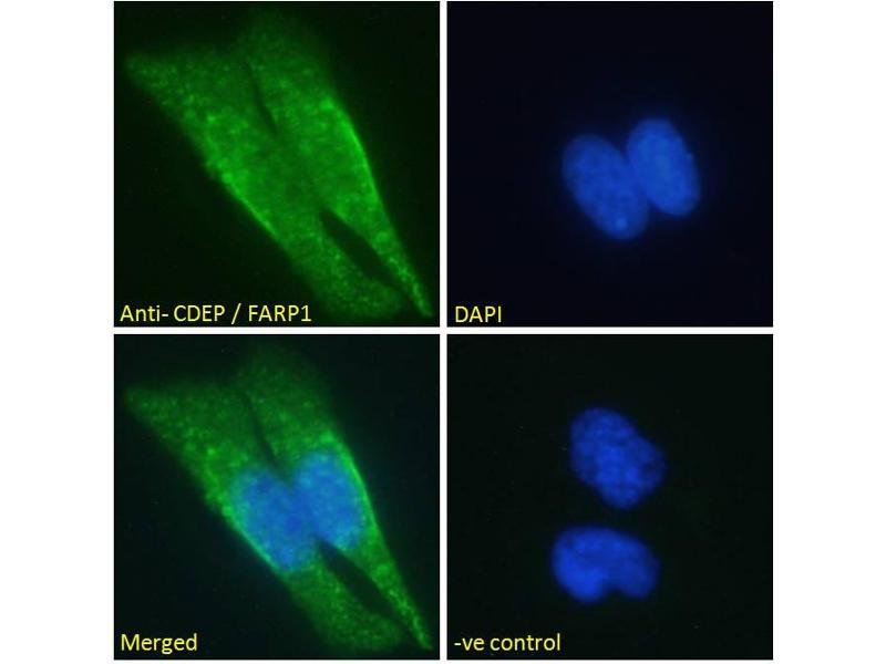 Image no. 2 for anti-FERM, RhoGEF (ARHGEF) and Pleckstrin Domain Protein 1 (Chondrocyte-Derived) (FARP1) (N-Term) antibody (ABIN185104)