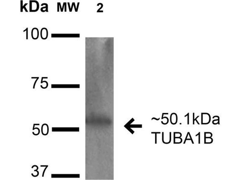 Image no. 2 for anti-alpha Tubulin (TUBA1) antibody (PerCP) (ABIN5066602)