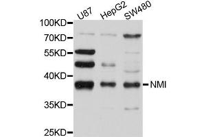 Image no. 1 for anti-N-Myc (And STAT) Interactor (NMI) antibody (ABIN4904546)