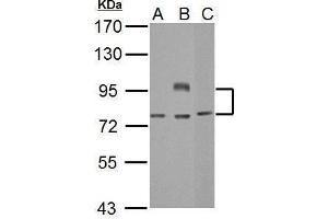 Image no. 2 for anti-B-Cell CLL/lymphoma 6 (BCL6) (Internal Region) antibody (ABIN2855012)