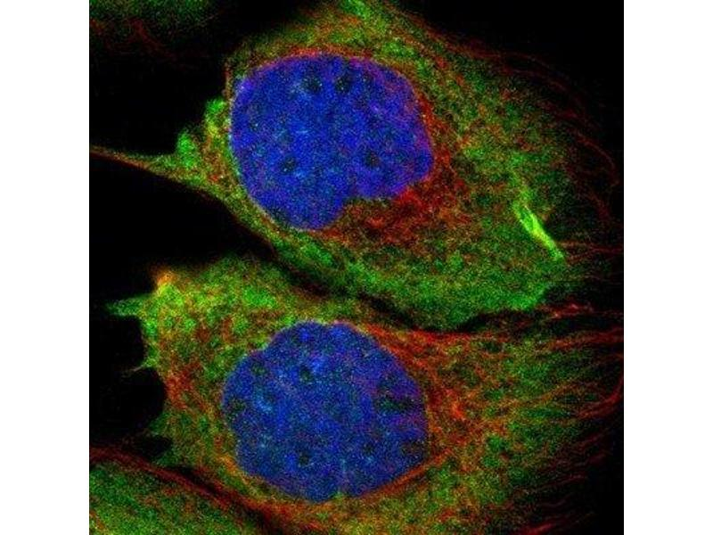 Immunofluorescence (IF) image for anti-Ras Protein-Specific Guanine Nucleotide-Releasing Factor 2 (RASGRF2) antibody (ABIN4349417)