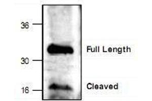 Western Blotting (WB) image for anti-Caspase 6, Apoptosis-Related Cysteine Peptidase (CASP6) (C-Term), (Large Subunit) antibody (ABIN223017)