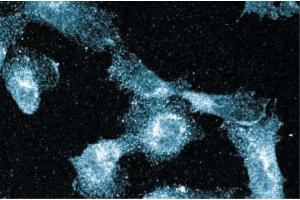 Immunofluorescence (IF) image for anti-BCL2-Associated Transcription Factor 1 (BCLAF1) (AA 318-439) antibody (ABIN968645)