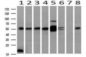 Western Blotting (WB) image for anti-MAPK4 antibody (Mitogen-Activated Protein Kinase 4) (ABIN4309451)