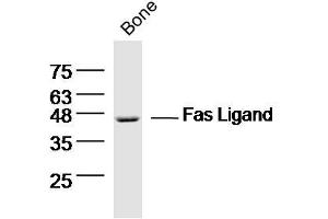 image for anti-Fas Ligand (TNF Superfamily, Member 6) (FASL) (AA 170-220) antibody (ABIN726410)