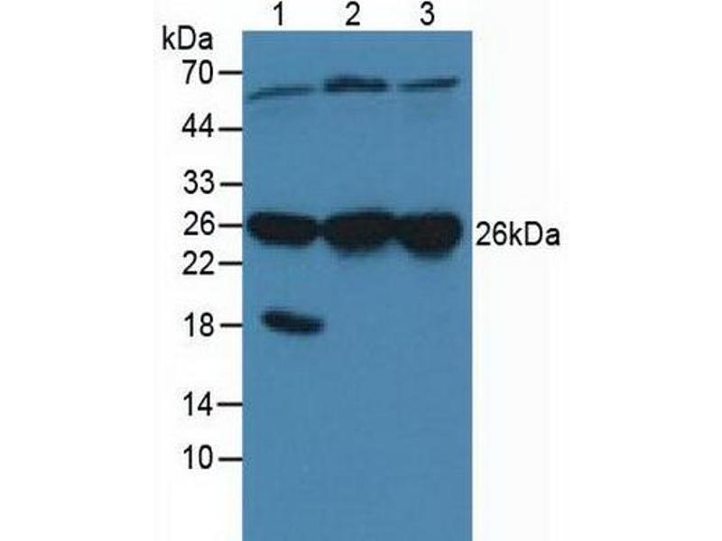 Western Blotting (WB) image for anti-Calcyclin Binding Protein (CACYBP) (AA 2-228) antibody (ABIN1867003)