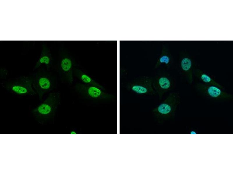 Immunofluorescence (IF) image for anti-GRB2 antibody (Growth Factor Receptor-Bound Protein 2) (C-Term) (ABIN2854697)