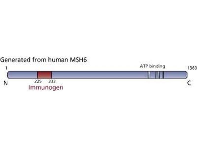 image for anti-MSH6 antibody (MutS Homolog 6 (E. Coli)) (AA 225-333) (ABIN968248)