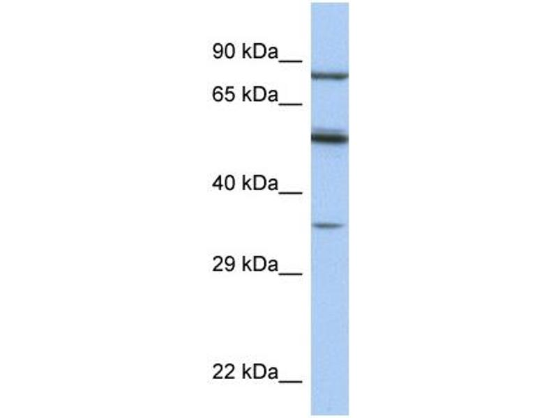 Image no. 5 for anti-Paired Box 4 (PAX4) (Middle Region) antibody (ABIN2779444)