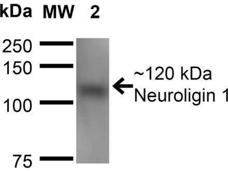 Image no. 2 for anti-Neuroligin 1 (NLGN1) (AA 718-843) antibody (Atto 655) (ABIN1741311)
