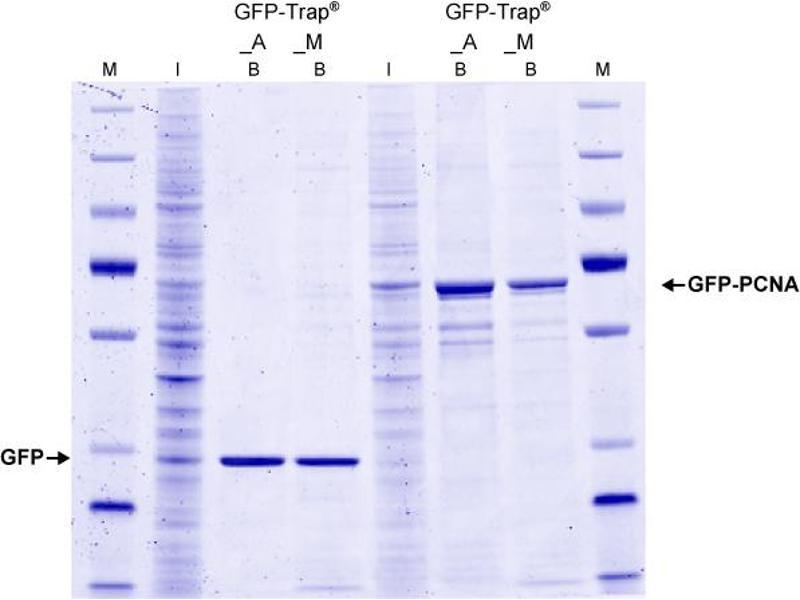 Image no. 1 for GFP-Trap® Agarose (ABIN509397)