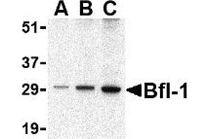 Image no. 2 for anti-BCL2-Related Protein A1 (BCL2A1) (C-Term) antibody (ABIN1030293)