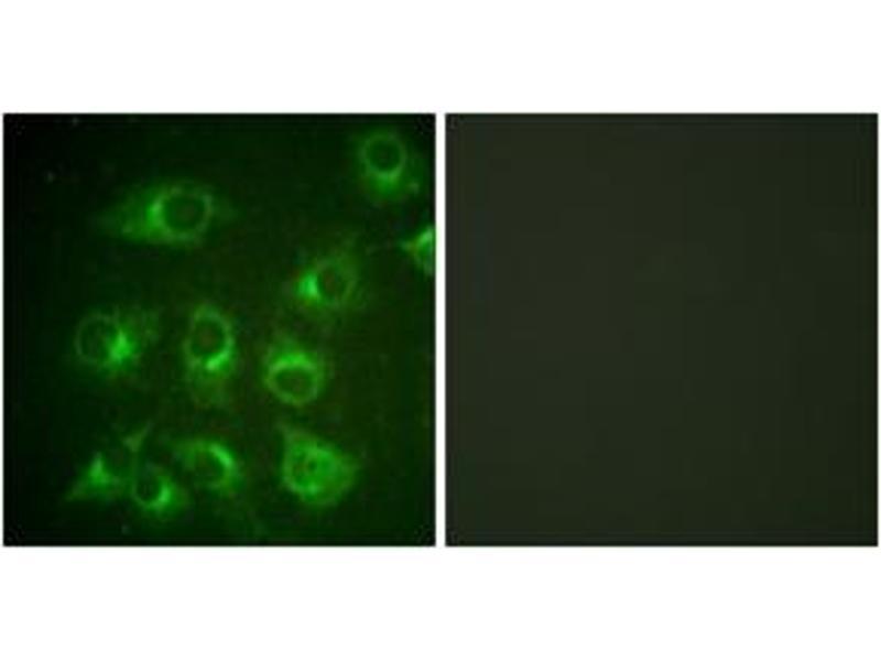 Immunofluorescence (IF) image for anti-V-Crk Sarcoma Virus CT10 Oncogene Homolog (Avian) (CRK) (AA 187-236) antibody (ABIN1532240)