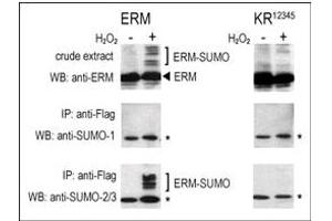 anti-SMT3 Suppressor of Mif Two 3 Homolog 1 (S. Cerevisiae) (SUMO1) (C-Term) antibody (2)