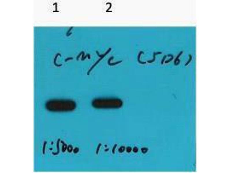 Western Blotting (WB) image for anti-Myc Tag antibody (ABIN3181097)