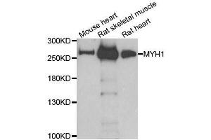 Image no. 2 for anti-Myosin Heavy Chain 1, Skeletal Muscle, Adult (MYH1) antibody (ABIN6144230)