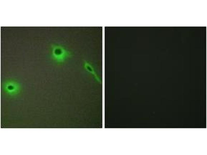 Immunofluorescence (IF) image for anti-Collagen, Type XVIII, alpha 1 (COL18A1) (AA 801-850) antibody (ABIN1534358)