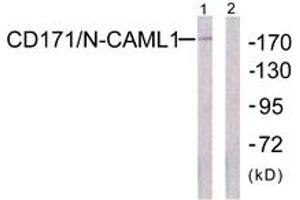 Image no. 1 for anti-L1 Cell Adhesion Molecule (L1CAM) (AA 1147-1196) antibody (ABIN1532555)