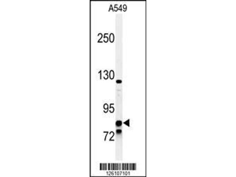 Western Blotting (WB) image for anti-Nuclear Receptor Subfamily 3, Group C, Member 1 (Glucocorticoid Receptor) (NR3C1) (AA 713-742), (C-Term) antibody (ABIN651060)